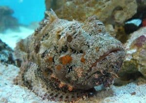 Stonefish – Details, Sting Treatment And 7 Weird Facts
